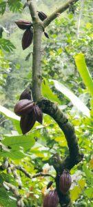 sao_tomè_cacao
