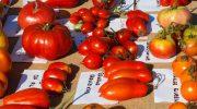 A Malgrate la 5ª edizione della Mostra nazionale del pomodoro