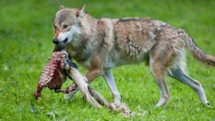 Torna l'allarme lupi per gli allevatori nel fivizzanese