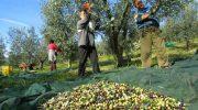 Lunigiana: ritorna l'allarme per la mosca olearia