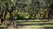 A breve la raccolta delle olive in Lunigiana