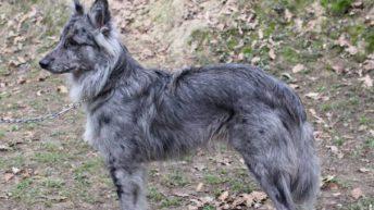 Bagnone: un club per riconoscere la razza del cane delle Alpi Apuane
