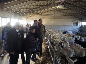 Inaugurazione Stalle allevamento Bovino e caprino, arrivano i primi capi di bestiame sotto gli occhi delle autorità, tra questi il sindaco Filippo Bellesi ed il presidente della Provincia Gianni Lorenzetti. (Foto Massimo Pasquali)