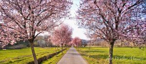 Un'immagine classica della primavera pontremolese: il viale dei Chiosi fiorito (foto Walter Massari)