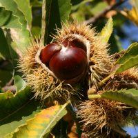 Lunigiana: stagione d'oro per le castagne, in crisi il miele