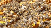 Allarme per le difficoltà dell' apicoltura