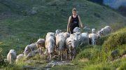 Compromessa la stagione per l'agnello di Zeri