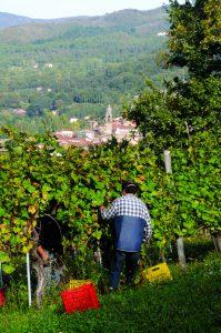 """Un momento della vendemmia alla """"Fattoria Ruschi Noceti"""" con sullo sfondo il panorama di Pontremoli"""