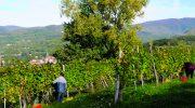 Tra raccolte settembrine o  tardive, dalla  vendemmia 2020 vini di qualità